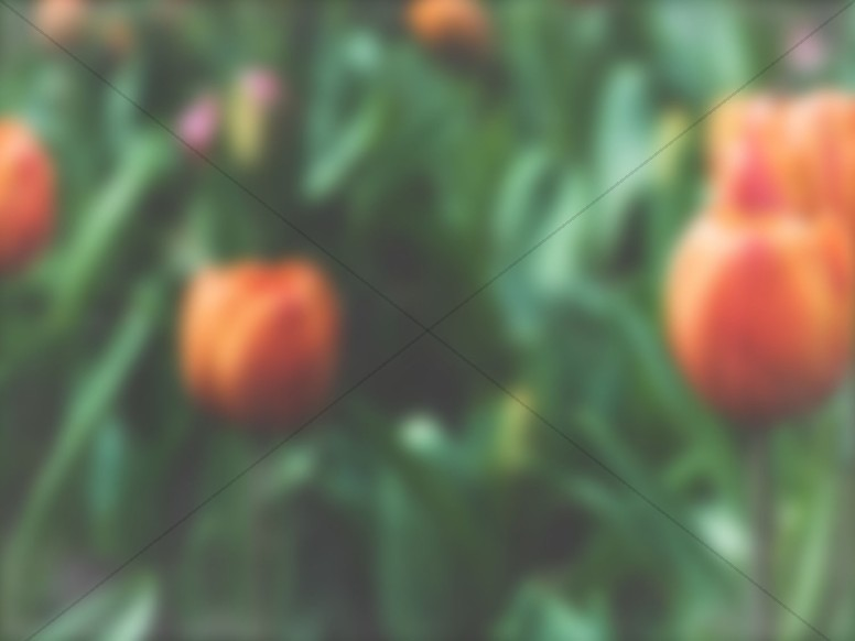 Spring Forward Tulip Church Background Slide