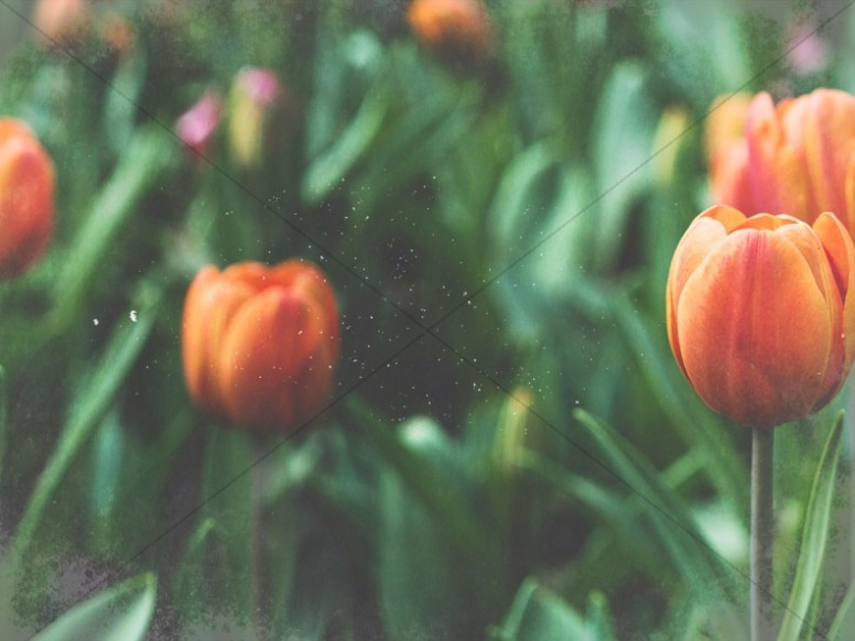 Spring Forward Tulip Church Worship Background