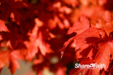 Red Fall Foliage Nature Background Video