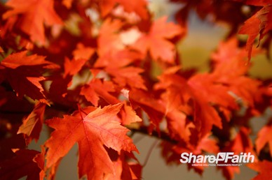 Red Autumn Leaves Nature Background Video