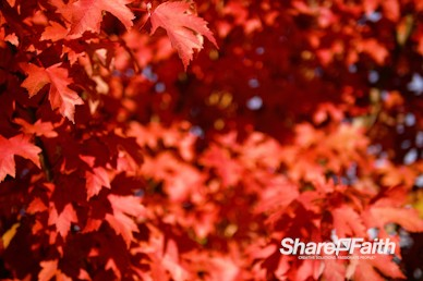 Fall Foliage Nature Background Video