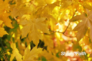 Autumn Maple Leaves Nature Video Background