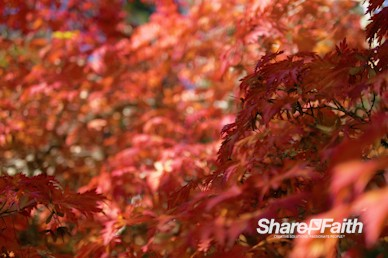 Red Fall Foliage Nature Video Background