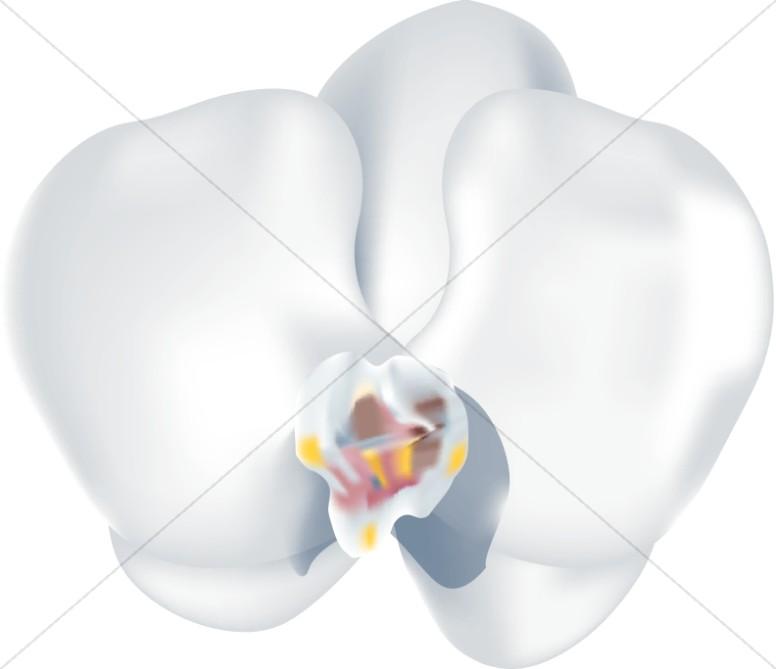Phaleanopsis Orchid Blossom