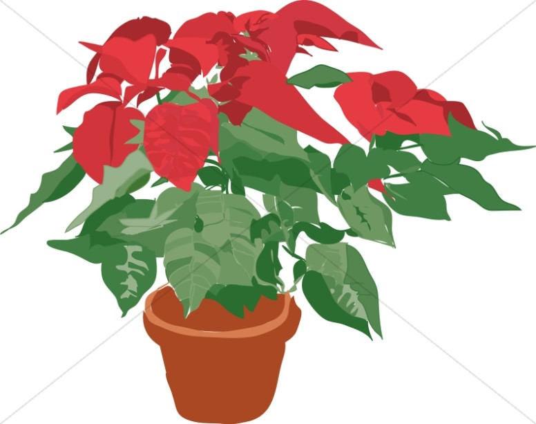 Potted Poinsettia Plant