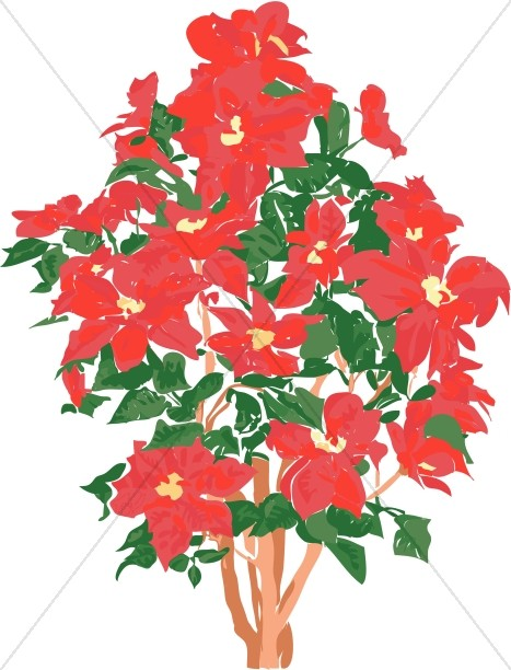Prolific Poinsettia Plant Church Flower Clipart